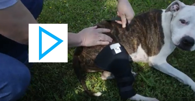 Video: Polvituki ja takapään kantovaljaat / Knee protection and rear harness for dogs